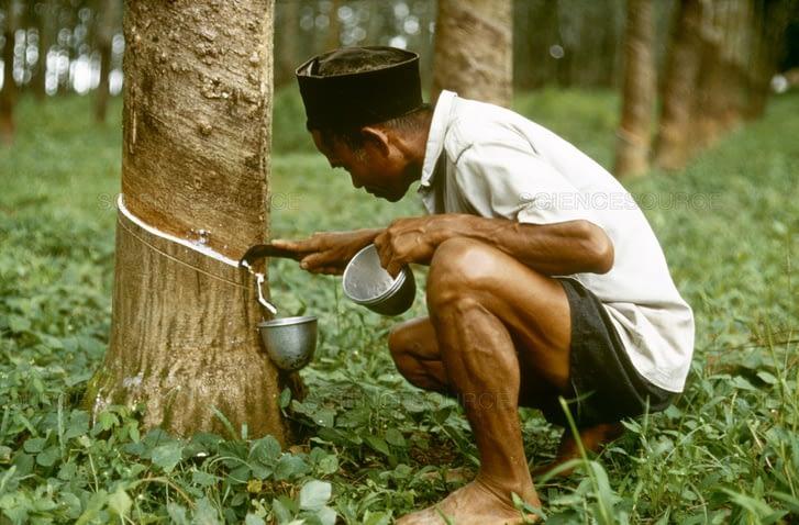 Kaucsukfa csapolása hagyományos módszerekkel